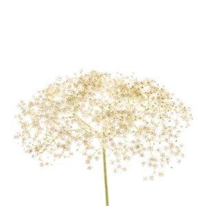 Fleur sureau