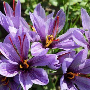 Fleur de safran - Désir de Safran