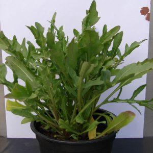 Roquette vivace - L'herbier des montages
