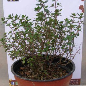 Thym citronné - L'herbier des Montagnes