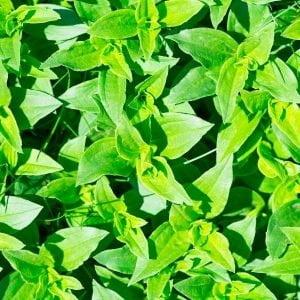 Plant saponaire