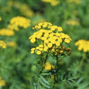 Tanaisie plant