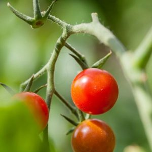 PLant tomate cerise Zuckertraube