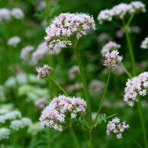 Plant Valériane