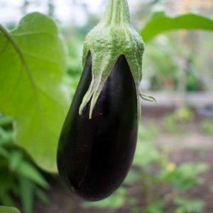 Aubergine - plant