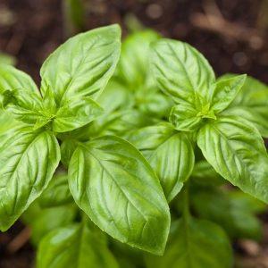 Plant basilic
