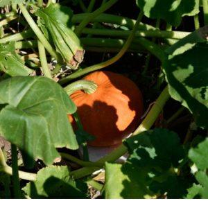 Plant potimarron