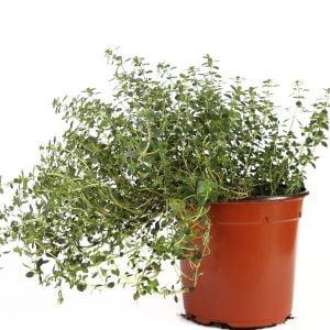 Plant thym
